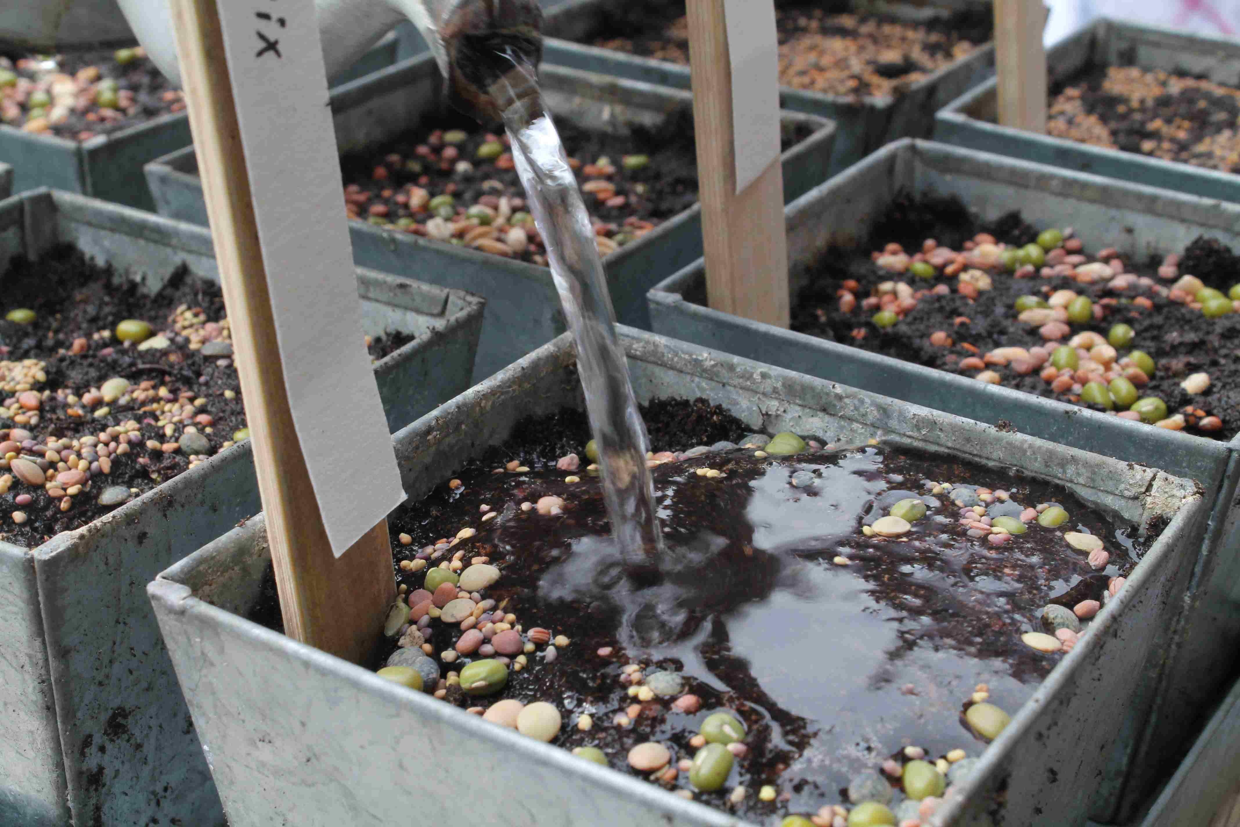 noch das Wasser über die Sprossen gießen und an einem sonnigen Platz legen